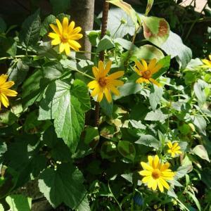 毎年咲いてくれる花たち