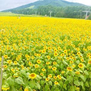 アルコピア  10万本の向日葵