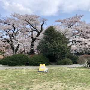 大学構内の桜