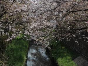 真間川の葉桜