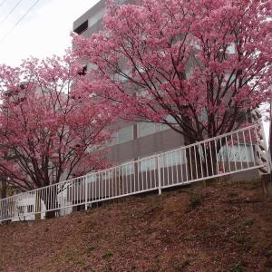 2021年鶴見川の紅桜
