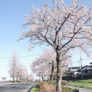 平泉の桜並木