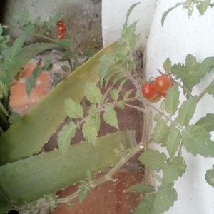 プチ・トマト(?)収穫間近   昨晩作ったオーダー品