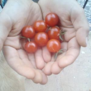 トマトの収穫  チェスのこま