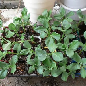 空豆の植え付け