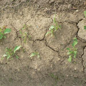 雑煮大根の間引き、土寄せ、追肥とひょっこりはん!