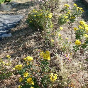 エンドウ豆の萌芽とお墓参り用花の収穫