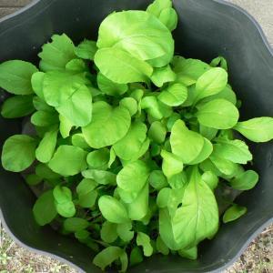 波板鉢栽培の柔々小松菜収穫とほうれん草の様子