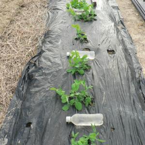 エンドウ豆の支柱立て