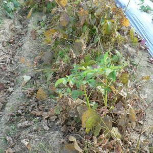 黒大豆のはざかけと葉っぱの処理
