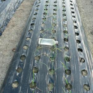 玉ねぎ苗の草取りともみ殻を掛けてみた
