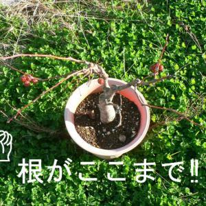深山カイドウの植え替え
