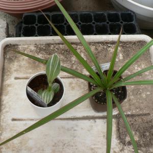 ダイソーの観葉植物の植え替え