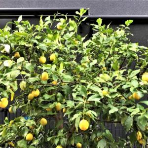 半日陰でもたくさん収穫できた、無農薬栽培のユーレカレモン。