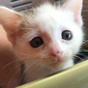 珍妙寝相のコネコチャン、和美猫に成長する 20200105