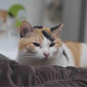 オス三毛猫、目薬を受け入れる 20200601