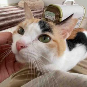 甘えん坊王子猫、末期腎不全の猫と共に生きる 20201205