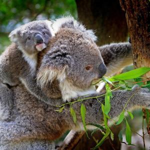 アデレードでコアラ抱っこ