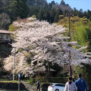 いつの時代も桜は咲きます