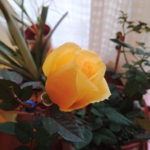 薔薇がイイ感じ