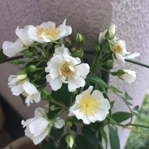 それぞれ元気なバラ