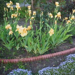 こんなに増えるの?ジャーマンアイリスを株分けした結果驚くほど花が咲いた