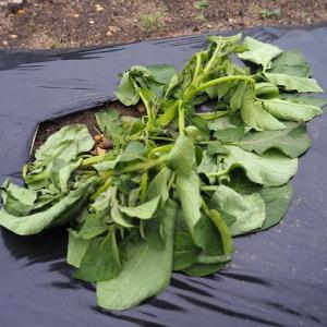 ジャガイモが倒れて枯れた 家庭菜園の敵は害虫だけではなかったという学び