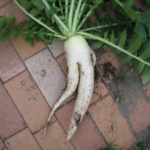 大根が二股になるのはなぜ?やけに色っぽい大根収穫