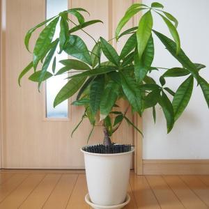 パキラの植え替えと挿し木で増やすリビング緑化計画