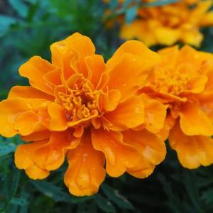 野菜と一緒に植えたい花【マリーゴールド】は植えっぱなしで優秀すぎる