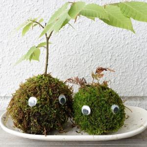 茶色くなった苔玉を緑色に復活させた方法 頭には新芽を植える