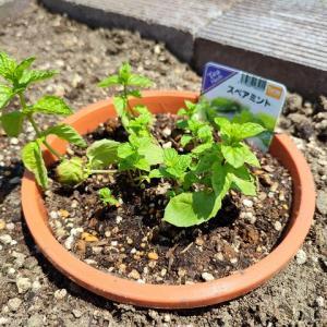 スペアミントを地植えにして増やさないように育てたい