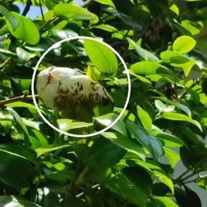 アレはナンダ!?椿の木にぶらさがる謎の白い物体の正体