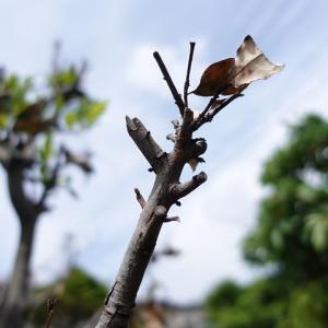 月桂樹の木が枯れた原因と希望の光