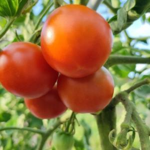 実割れのトマトをおいしくいただく方法
