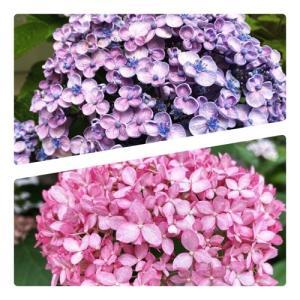 紫陽花いろいろ、私もいろいろ