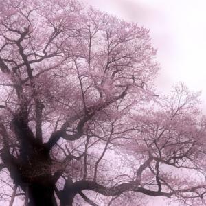 第891回  本当にの彼岸桜