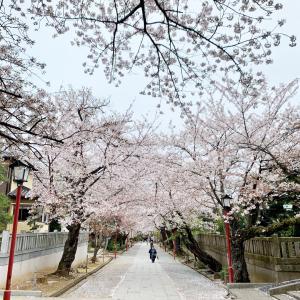 近所の桜並木と差し入れ