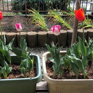 チューリップが沢山咲き始めました
