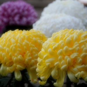 菊とキツネとおいなりさん 笠間稲荷神社