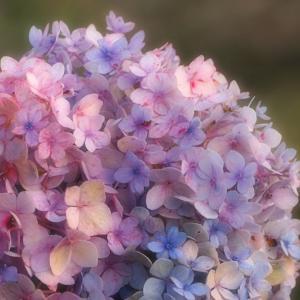 季節外れの紫陽花におもうこと。