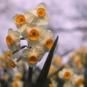 *水仙と菜の花* 翔んで埼玉からのイバライガー
