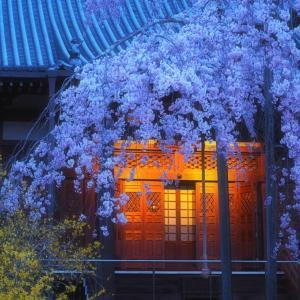 *一日一桜* 大山寺のモコモコ枝垂れ桜