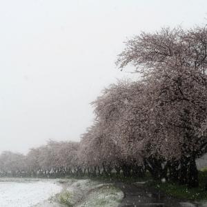 *一日一桜* 雪桜と駒トイとジャジャ麺