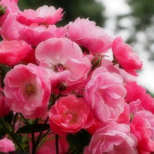 *バラ* 井頭公園 Cuteなピンクと情熱の赤
