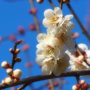 偕楽園 梅まつり「開花状況とチームラボ 光の祭」