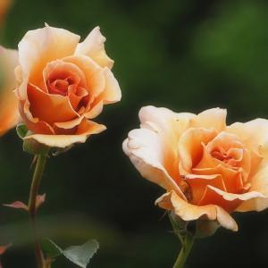 Rose Festa「ごはん3杯いけちゃいマース」