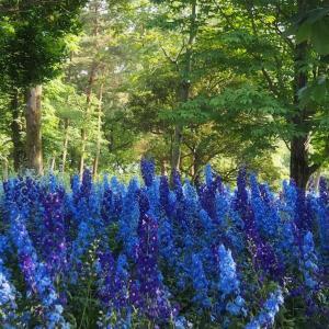 *デルフィニウム* 青の世界 in 武蔵丘陵森林公園