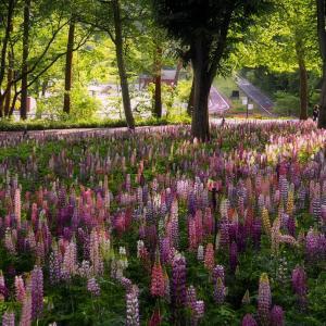 *ルピナス* にょきにょきの森 in 武蔵丘陵森林公園