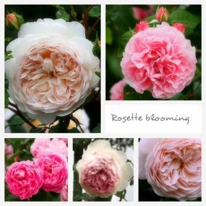 いばらきフラワーパーク 「ふたたびのバラ満開」